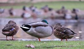 Pinner Memorial Park, Middlesex UK. Ducks on the edge of the pond. West House and the Heath Robinson Museum behind. stock photography