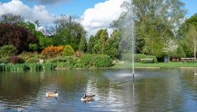 Pinner Memorial Park, UK Fotoet visar sjön med springbrunnen, fåglar, änder, gäss, träd och grön lövverk fotografering för bildbyråer