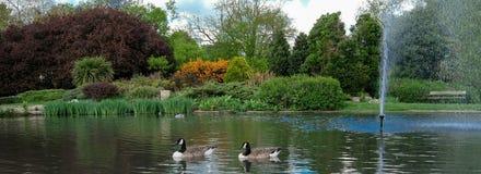 Pinner Memorial Park, UK Fotoet visar sjön med springbrunnen, fåglar, änder, gäss, träd och grön lövverk arkivfoto