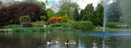 Pinner Memorial Park, UK. Photo shows lake with fountain, birds, ducks, geese, trees and green foliage. Pinner Memorial Park, Pinner, Middlesex, UK. Panoramic stock photo