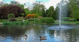 Pinner Memorial Park, UK. Photo shows lake with fountain, birds, ducks, geese, trees and green foliage. Pinner Memorial Park, Pinner, Middlesex, UK. Panoramic royalty free stock images