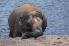 从Pinnewala大象孤儿院Pinnawela& x29的一头年轻大象;在斯里兰卡 免版税图库摄影