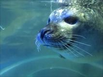 Pinniped oder Dichtung stock video