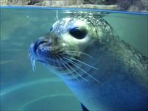 Pinniped oder Dichtung stock footage