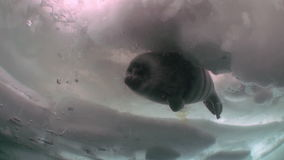 Pinniped seal in underwater ice of Lake Baikal in Siberia. Clean cold blue snow. Deep extreme diving. Very beautiful. Scenic spot wildlife stock video