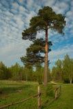 Pino-árbol Imagen de archivo libre de regalías
