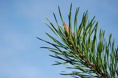 Pino-árbol Fotografía de archivo
