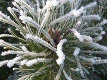 Pino-árbol de la nieve fotos de archivo