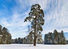 Pino-árbol en parque del invierno Fotografía de archivo
