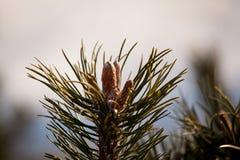 Pino-árbol joven Imagenes de archivo