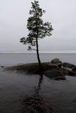 Pino-árbol solo en una roca Foto de archivo