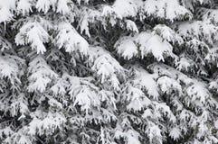 Pino-árboles cubiertos con nieve. Fotografía de archivo libre de regalías