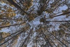 Pino-árboles de la primavera Una mirada en el cielo Foto de archivo