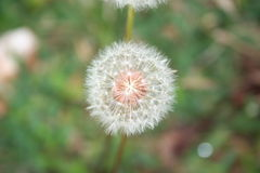 pino Foto de archivo