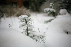 pino Foto de archivo libre de regalías