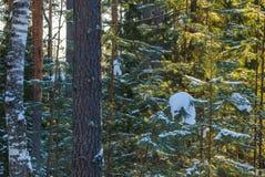Pino, abedul, nieve Bosque congelado Fotos de archivo