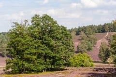 Pino, abedules, rastros y brezo floreciente en reserva de naturaleza en el día Imagen de archivo