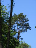 Pino al borde de un bosque en un fondo del cielo Foto de archivo