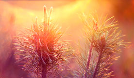 Pino al tramonto Immagini Stock