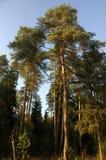 Pino-albero Immagini Stock Libere da Diritti