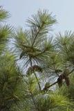Pino-albero: coni immagine stock libera da diritti