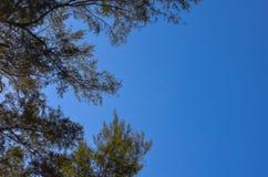 Pino australiano con chiaro cielo blu luminoso immagini stock