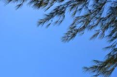 Pino australiano con chiaro cielo blu luminoso fotografia stock libera da diritti
