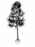 Pino austriaco o nero, albero di Pinus nigra - 3D Immagini Stock Libere da Diritti