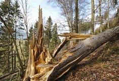 Pino caduto con il tronco scheggiato su un pendio di collina boscoso immagine stock libera da diritti