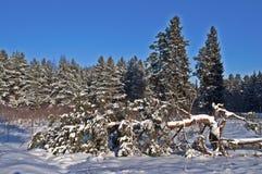 Pino caduto nella foresta di inverno Fotografia Stock Libera da Diritti