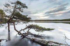 Pino caido en el lago Garten en Escocia Fotos de archivo