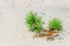 Pino che germoglia da una sabbia Immagine Stock