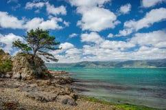 Pino che trascura il mare, ad una costa rocciosa Immagine Stock