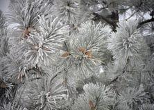 Pino congelato con i coni Immagini Stock Libere da Diritti