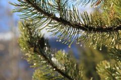 Pino conifero e la goccia di acqua nell'ambito di sole Immagini Stock Libere da Diritti