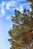 Pino contra el cielo azul con las nubes Imagen de archivo libre de regalías