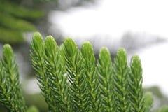Pino cooky verde Fotografía de archivo