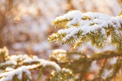 Pino coperto di neve sul tramonto Fotografia Stock Libera da Diritti
