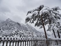 Pino coreano sotto la neve e grandi montagne sui precedenti Immagini Stock Libere da Diritti