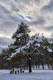 Pino cubierto con nieve fotografía de archivo libre de regalías