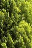 Pino Cypress Immagini Stock