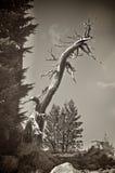 Pino dalla corteccia bianca isolato su un picco di montagna Fotografia Stock