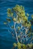 Pino de Brava de la costa Foto de archivo libre de regalías