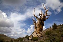 Pino de Bristlecone antiguo y cielo nublado Imagenes de archivo