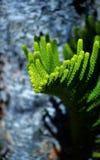 Pino de isla de Norfolk Imagen de archivo libre de regalías