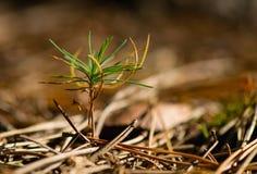 Pino de la planta de semillero Fotos de archivo libres de regalías