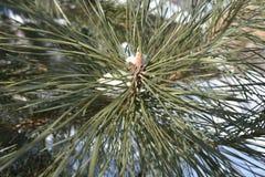 Pino de los árboles del invierno Fotos de archivo libres de regalías