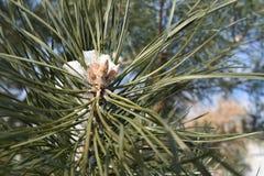 Pino de los árboles del invierno Imagenes de archivo