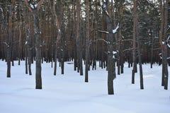 Pino de los árboles del invierno Fotos de archivo