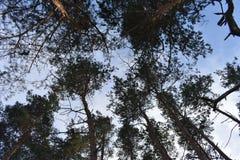 Pino de los árboles del invierno Foto de archivo